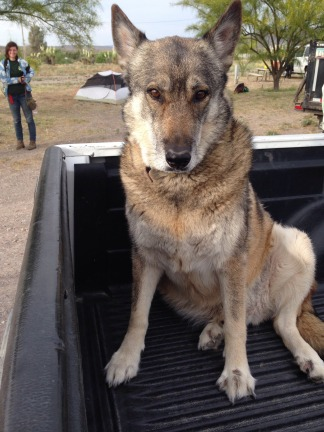 Again, this is Wolf. He is an actual wolf named Wolf. He was domesticated from a pup. The cowboy found him alive amongst his mom and pup-siblings who were shot on someone's farm land. He looked like Atticus through so many of his mannerisms, it was uncanny. Big, bold, and beautiful.